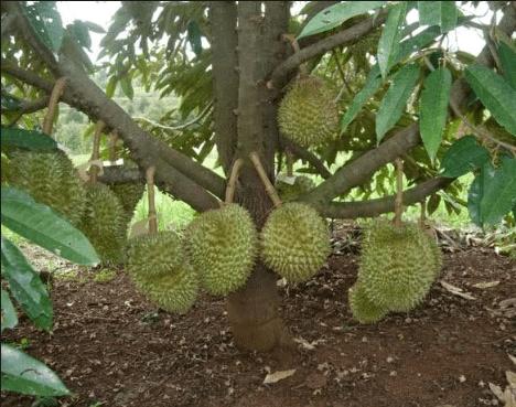 Keunggulan Durian Musang King Dibanding Jenis Lain