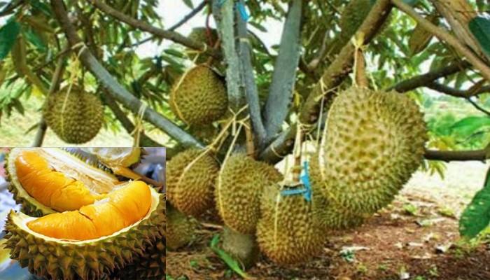 Tips Budidaya Buah Durian Musang King Supaya Cepat Tumbuh
