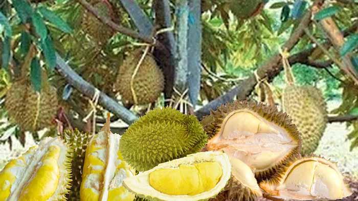 Cara Budidaya Durian Musangking