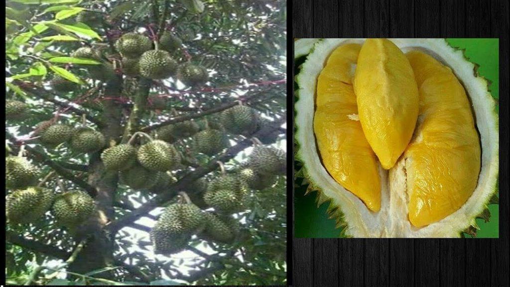 Panen Durian Musang King